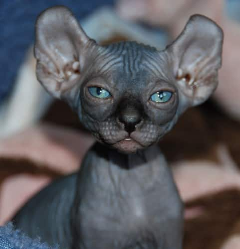 donskoy cat breeds