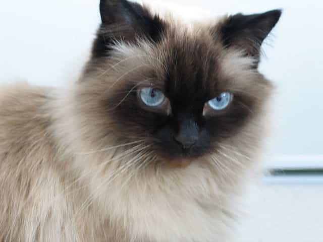 himalayan cat personality