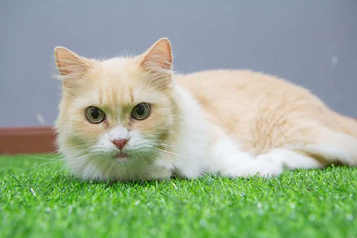 reasons to adopt munchkin cat