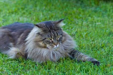 maine coons cat