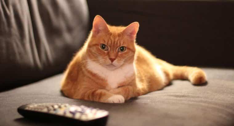 orange cats male