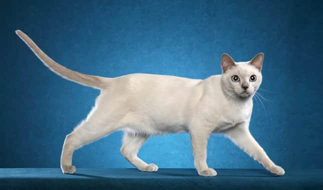 tonkinese cat breeders