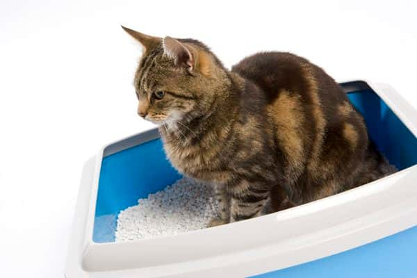 train a cat to use litter box
