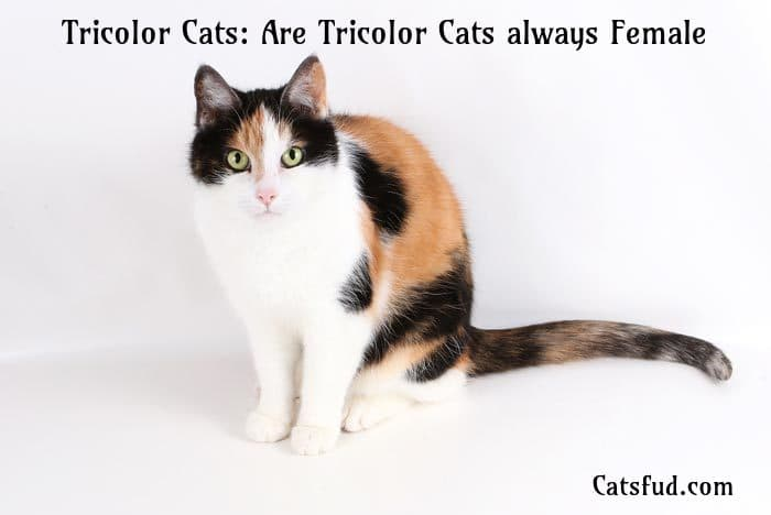 tricolor cats