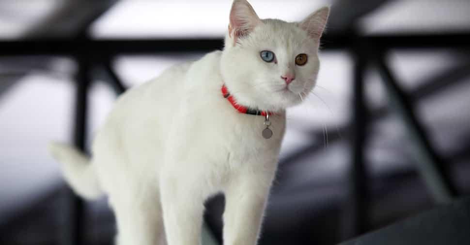 white tabby cat