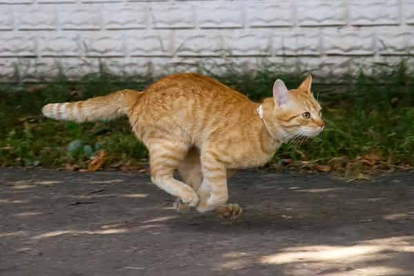 Cats Walk on Tip Toe
