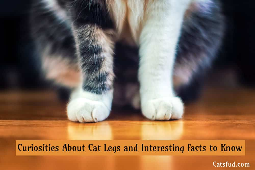 Curiosities About Cat Legs and Interesting facts to Know
